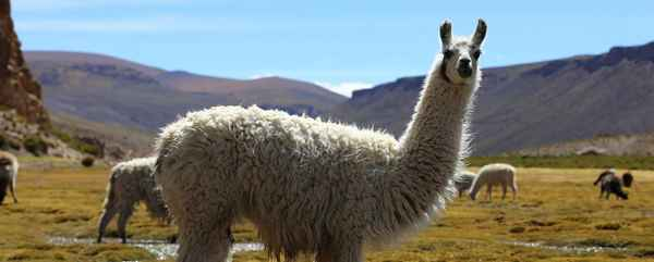 Un NAC* à découvrir, le lama!